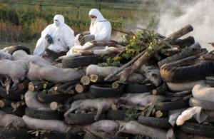 убой свиней из-за африканской чумы