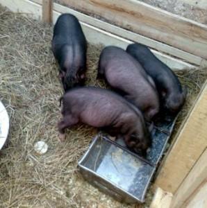 особенности кормления вьетнамских свиней