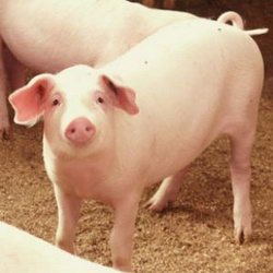 свинья на гормонах
