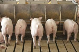 беконный откорм свиней с добавками