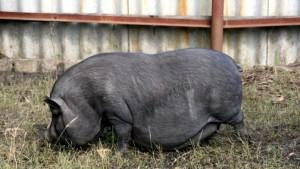 кормление вьетнамской опоросной свиноматки
