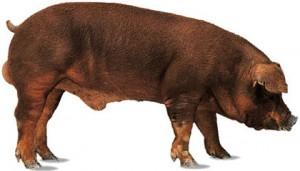 мясная порода дюрок