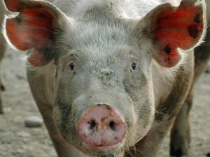больная свинья смотрит в камеру