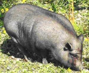 вислобрюхая травоядная свинья