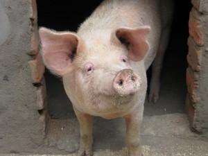смена поведения свиноматки