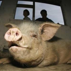 глисты у свиньи