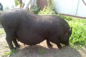 вьетнамская супоросная свиноматка