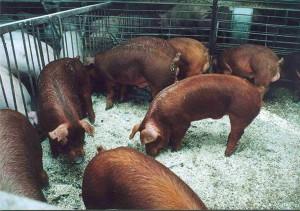 популярная порода свиней дюрок