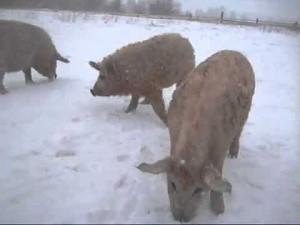выгул свиней зимой