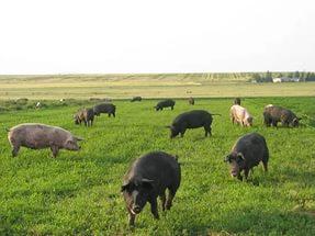 пастбищный метод содержания свиней