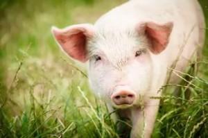 особенности свиней