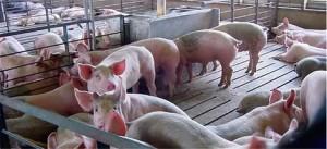 содержание свиней в крупном хозяйстве