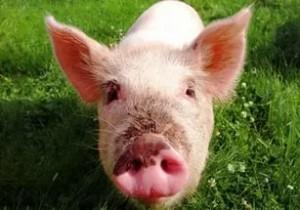 свинья тычет пяточком в камеру