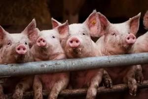 свиньи позируют фотографу
