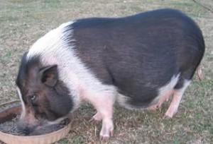 подготовка к опоросу свиноматки