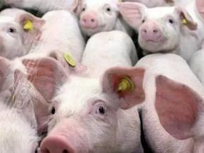 покупка молодняка свиней