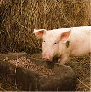 свинья ест комбикорм
