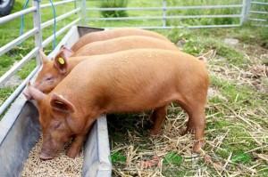 кормление свиней комбикормом