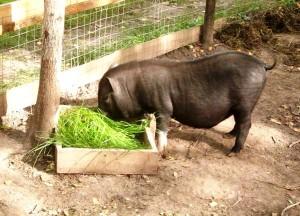 кормление вьетнамских поросят зеленью