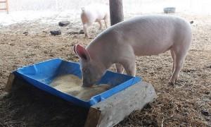 кормушка для свиней своими руками