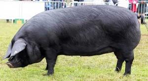 порода свиней крупная черная