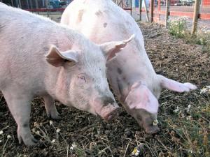 грязные свиньи на выгуле