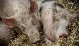 больные свиньи