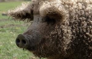мясная порода свиней венгерская мангалица