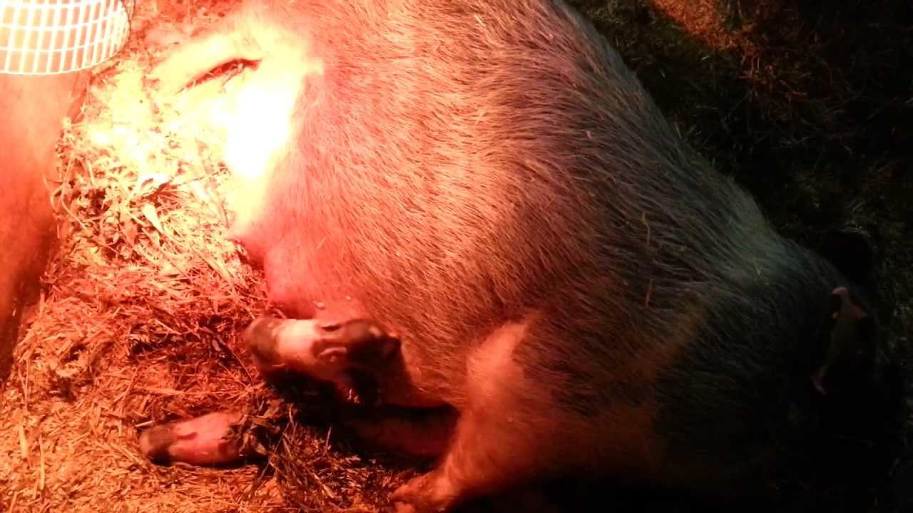 Болезни свиней, их профилактика и лечение - Фермер. Ру