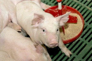 премикс для свиней