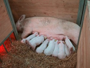 уход за свиноматкой после опороса