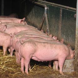 эффективный откорм свиней