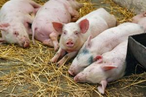 отравление свиней