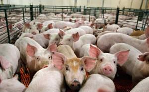откорм свиней на ферме
