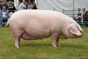 Порода свиней крупная белая купить