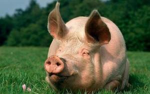 свинья с большими ушами