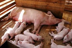 свиноматка с поросятами в свинарнике