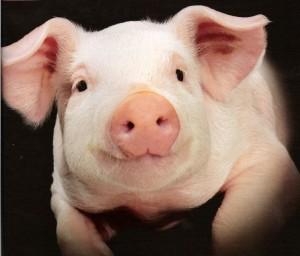 свинья лежит и смотрит в камеру