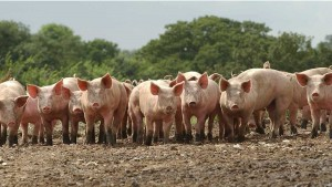 формирование стада свиней