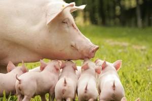 белая свинья с поросятами
