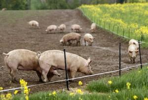 выгул свиней в летнее время