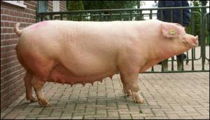 свиноматка для опороса