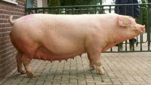беременная свинья породы ландрас