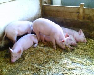 помещение для свиней