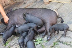 разведение вислобрюхих свиней