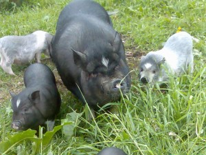 азиатские травоядные свиньи