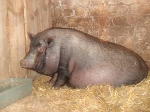супоросная вьетнамская свинья в свинарнике
