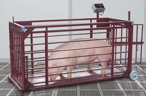 определение веса свиньи при помощи весов