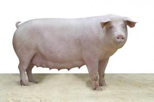 свиноматка смотрит в камеру