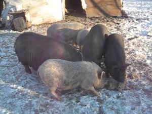 рацион питания вьетнамских свиней